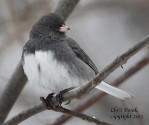 http://birdsofnewengland.com/tag/dark-eyed-junco/