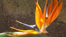 Bird of Paradise on my patio in California. © Snowbirdofparadise.com