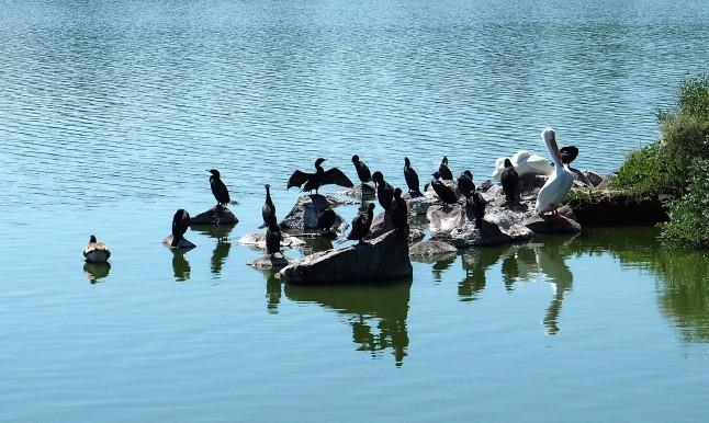 White Pelicans and Cormorants