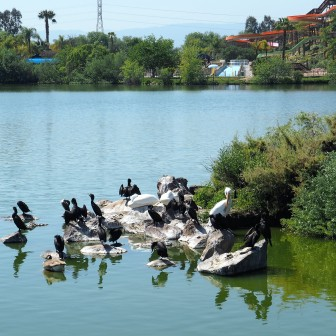 Cormorants and Pelicans