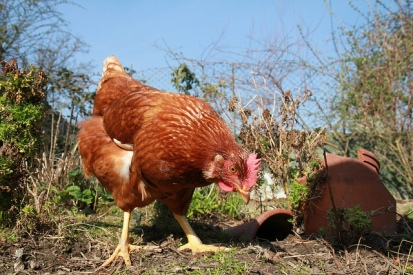 Hungry Chicken by Matt Davis via Flickr (CC BY 2.0