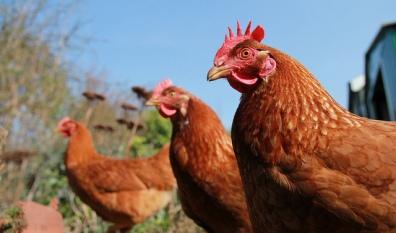 Chicken Heroines by Matt Davis via Flickr (CC BY 2.0)