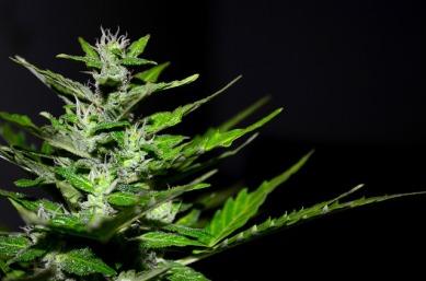 Marijuana Cannabis Plant Hemp