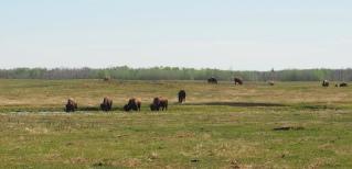 Wood Bison at Elk Island National Park