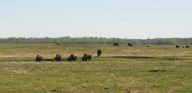 Wood Bison at Elk Island National Park