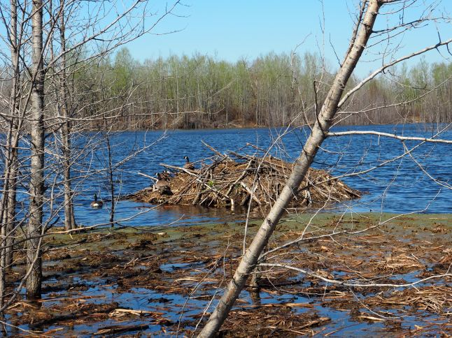 Beaver lodge with Canada Geese