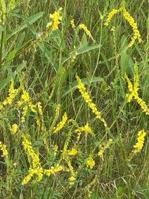 Yellow Sweet Clover