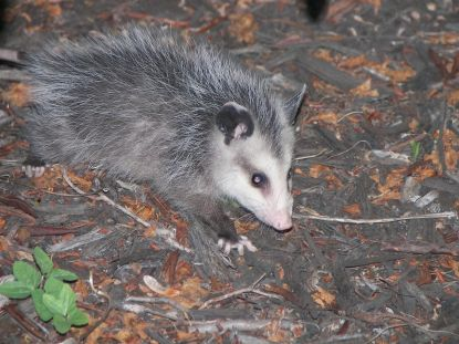 Young_Possum